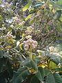 Hydrangea sargentiana Hydrangea aspera sargentiana BotGardBln07122011B.JPG