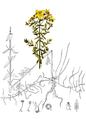 Hypericum Perforatum-American Medicinal Plants-1-0175-30.png