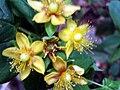 Hypericum androsaemum flower Closeup SierraMadrona.jpg