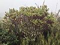 Hypericum goyanesii.jpg