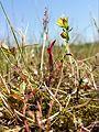 Hypericum humifusum sl2.jpg