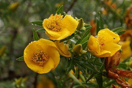 Hypericum lanceolatum lanceolatum.JPG