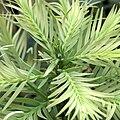 IMG 5965-Wollemia nobilis.jpg