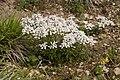 Iberis amara saint-fuscien 80 19052007 4.jpg