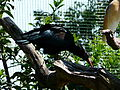 Ibis chauve Argelès-Gazost parc animalier.JPG