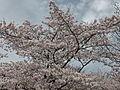 Ichibu-hazakura(10%-leafed-cherry-blossoms).JPG