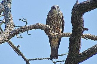 Mississippi kite - Image: Ictinia mississippiensis Oklahoma, USA juvenile 8