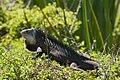 Iguane de Petite Terre.jpg