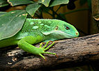 Iguane des Fidji2.jpg