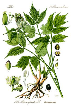 Illustration Actaea spicata0 clean.jpg