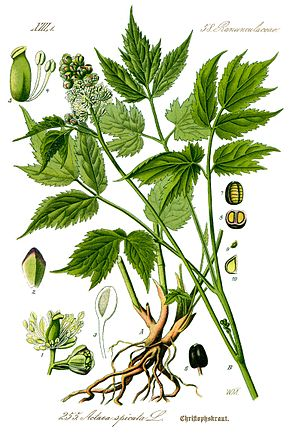 Description de l'image Illustration Actaea spicata0 clean.jpg.