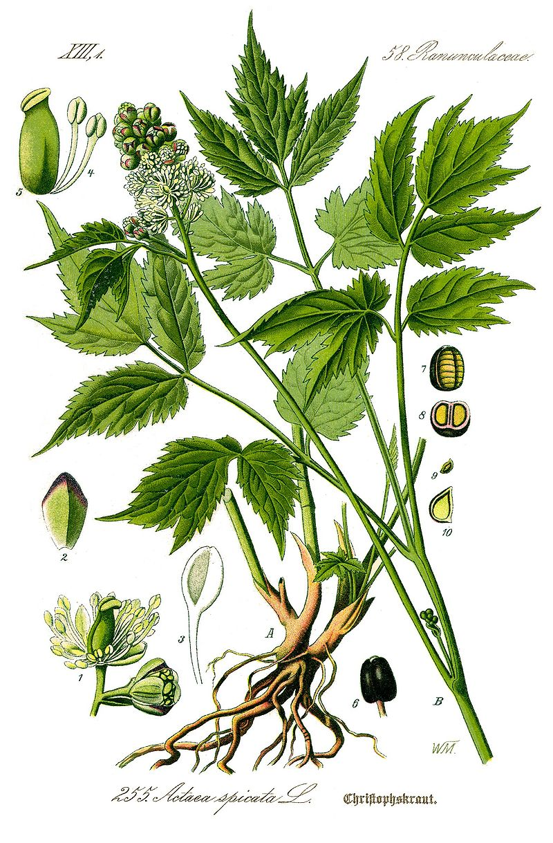 Illustration Actaea spicata0 clean.jpg