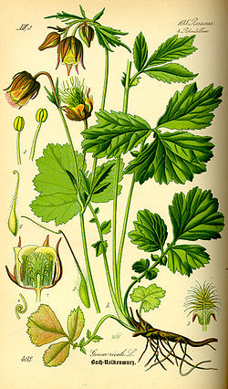 http://upload.wikimedia.org/wikipedia/commons/thumb/6/67/Illustration_Geum_rivale0.jpg/250px-Illustration_Geum_rivale0.jpg