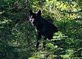 Imnaha Alpha Male Aug2009b (17106484028).jpg