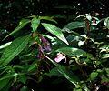 Impatiens arguta (left) ^ uniflora - Flickr - peganum.jpg