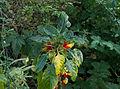 Impatiens niamniamensis - Parc Floral.jpg
