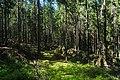 In the forest near Kanneljarvi, Leningrad Oblast, 2019-06-22-1.jpg
