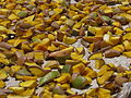 India - Sights & Culture - mango sun-drying for pickle making 2 (3975868257).jpg