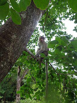 Indian-Monkey.jpg