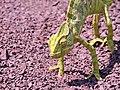 Indian Chameleon.jpg