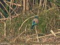 Indian Roller (Coracias benghalensis) (34405143531).jpg