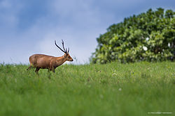 Indian hog deer.jpg
