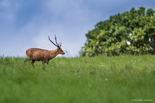 Indian hog deer species of mammal