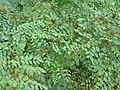 Indigofera tinctoria-2-papanasam-tirunelveli-India.jpg