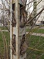 Ingrown tree close to Budafok kocsiszin tram depot (2).JPG