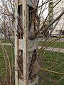 Ingrown tree close to Budafok kocsiszin tram depot (2).JPG