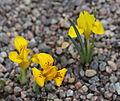 Iris danfordiae GotBot 2015 002.JPG