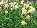 Iris flowers.JPG