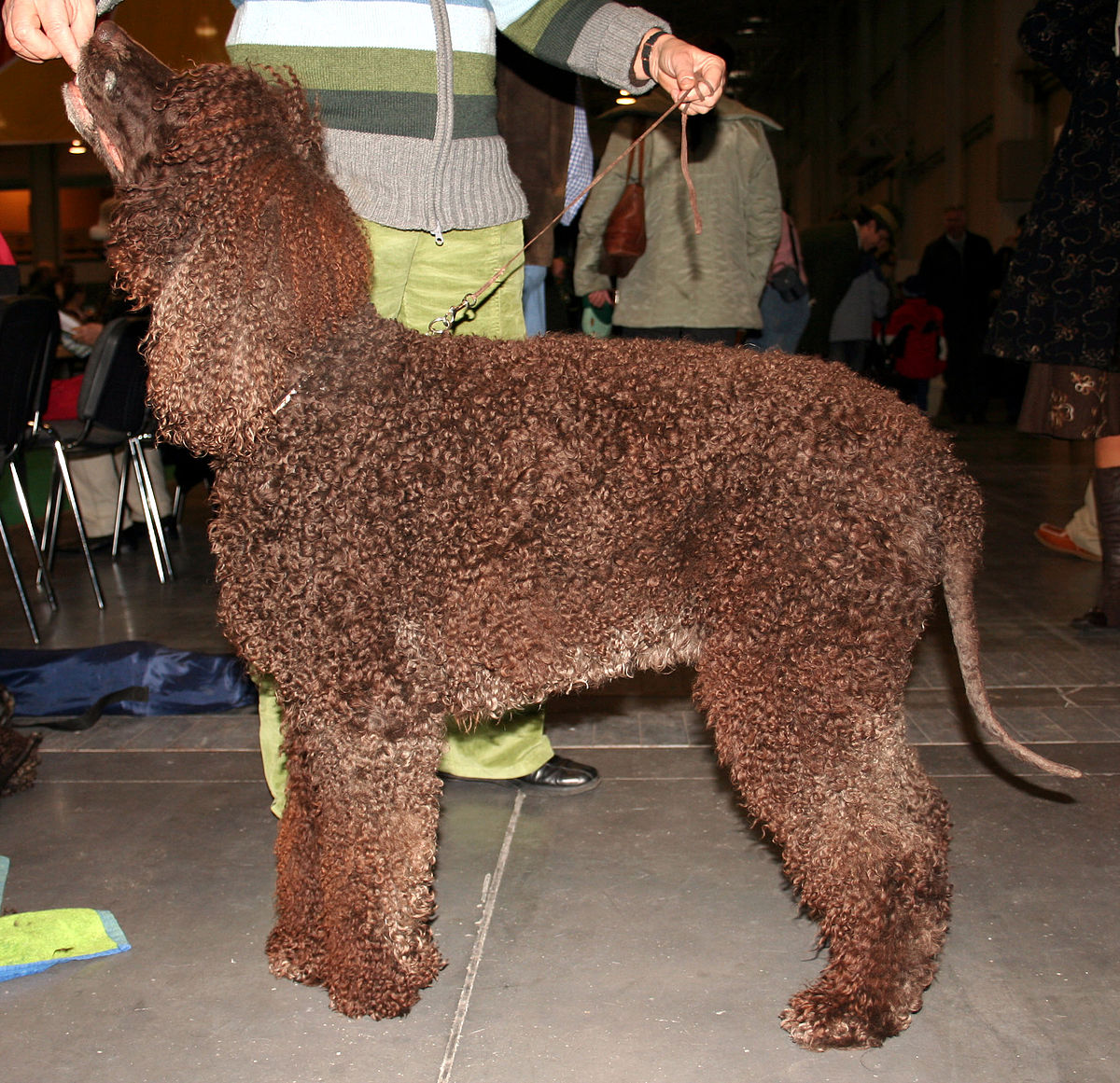 Dog Breed Irish Terrier