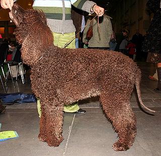 Irish Water Spaniel Dog breed