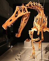 Closeup photo of the reconstructed head and neck bones in the Japan Irritator skeletal mount