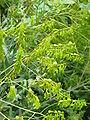 Isatis tinctoria fruits2.jpg