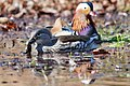 It's not always romantic, the Mandarin Duck female swallows a true toad alive. It took her half an hour - panoramio.jpg