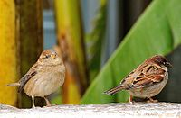 Italian Sparrow male and female.jpg