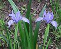 J20160407-0111—Iris douglasiana—RPBG (26355668855).jpg