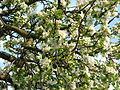 Jabloň plná květů.JPG