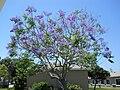 Jacaranda mimosifolia, Martin County, Fla -002.JPG