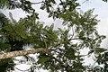 Jacaranda mimosifolia 22zz.jpg