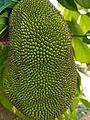 Jackfruit from my backyard.jpg