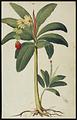 Jacopo Ligozzi (1547?-1626 ) Le bananier.png