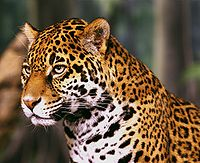 Jaguar head shot1.jpg