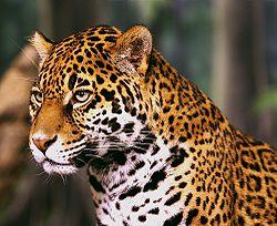 Jaguar edited with gimp. More contrast, color balanced. 2006-11-16