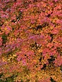 Japanese Maple in the Fall.jpg