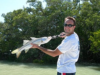 Common snook - Common snook caught off Florida