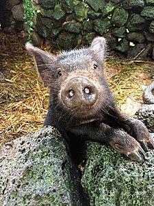 Jeju Black pig.jpg