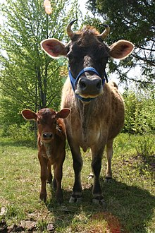 220px-Jersey_cow_and_her_calf dans VACHE - BOEUF....